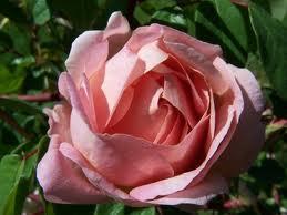rose peche