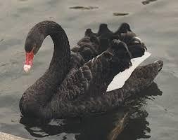 cygne noir ;;;